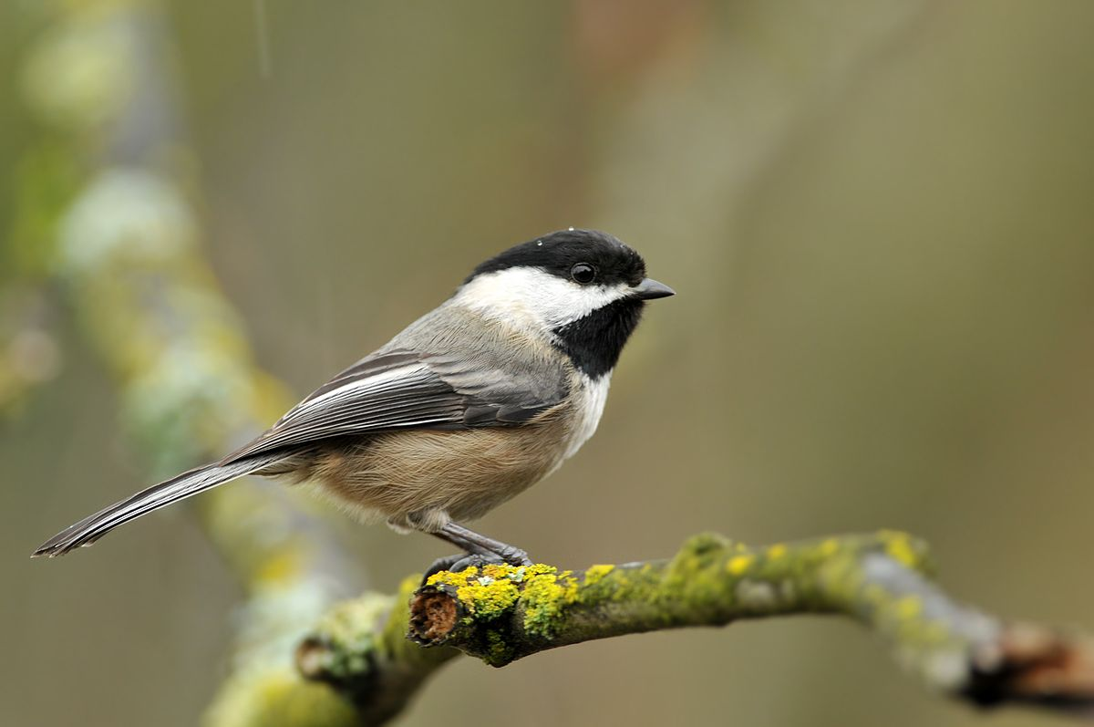 Black-capped Chickadee on a branch in New Hampshire